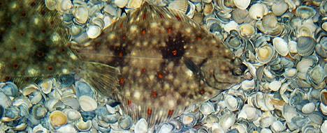 Fische in der Nordsee