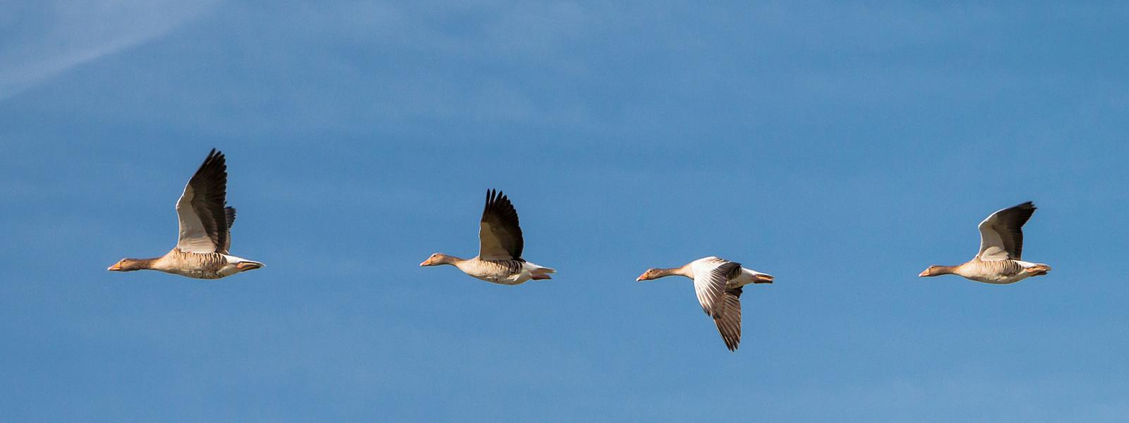 Zugvögel am Wattenmeer