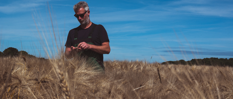 Getreideanbau an der Nordseeküste